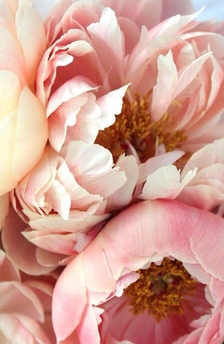 blush pink peonies