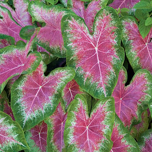 Caladiums via Southern Living