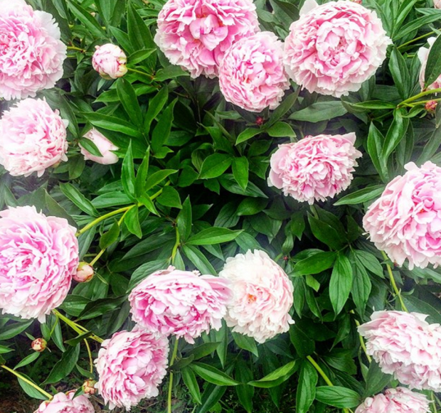 Michigan peonies